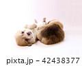 コーギー 子犬 42438377