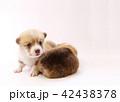 コーギー 子犬 42438378
