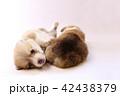 コーギー 子犬 42438379
