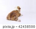 コーギー 子犬 42438500