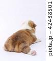 コーギー 子犬 42438501