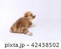 コーギー 子犬 42438502