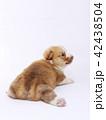 コーギー 子犬 42438504