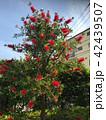 満開のブラシの木 42439507