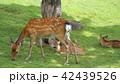 奈良公園 親子鹿 42439526