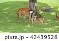 奈良公園 親子鹿 42439528