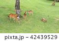 奈良公園 親子鹿 42439529