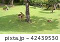 奈良公園 親子鹿 42439530