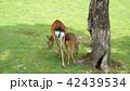 奈良公園 親子鹿 42439534