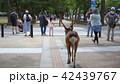 奈良公園の鹿 42439767