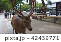 奈良公園の鹿 42439771