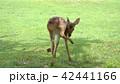 奈良公園の小鹿 42441166