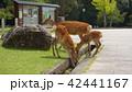 奈良公園の親子鹿 42441167