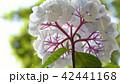 アジサイ 花の下から 42441168