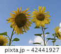 Field of blossoming sunflowers against the blue  42441927
