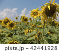 Field of blossoming sunflowers against blue sky 42441928