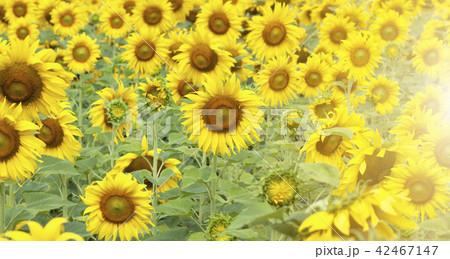 Sunflower field landscape 42467147