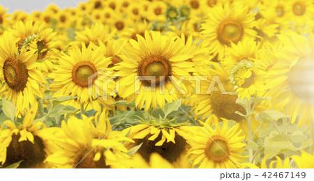 Sunflower field landscape 42467149