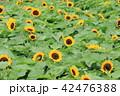 植物 花 夏の写真 42476388