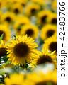 花 向日葵 花畑の写真 42483766