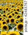 花 向日葵 花畑の写真 42483767