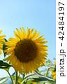 花 青空 夏の写真 42484197