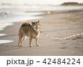 夕焼けの海とかわいい柴犬 42484224