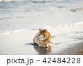 夕焼けの海とかわいい柴犬 42484228