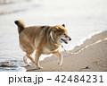 夕焼けの海とかわいい柴犬 42484231
