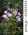 クレオメ 花 西洋風蝶草の写真 42484929