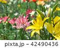 ゆりパーク ゆり園 ゆりの写真 42490436