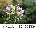クレオメ 花 西洋風蝶草の写真 42490589