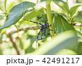 【ゴマダラカミキリ】 42491217
