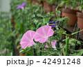朝顔 夏 植物の写真 42491248