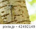 酷暑の森のクマゼミ13 42492149