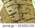 酷暑の森のクマゼミ14 42492150