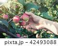 りんご アップル リンゴの写真 42493088