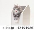 箱に入ったノルウェージァンフォレストキァットの仔猫 42494986