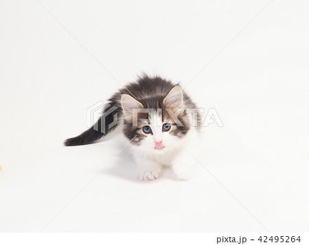 舌を出すノルウェージァンフォレストキァットの仔猫 42495264