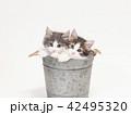 鉢カバーに入った2匹のノルウェージァンフォレストキァットの仔猫 42495320