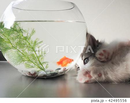 子猫と金魚 42495556