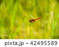 ハッチョウトンボ(八丁蜻蛉) 42495589