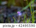 ホザキノミミカキグサ 42495590