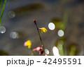 ミミカキグサ(耳掻き草) 42495591