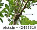 セミ クマゼミ 昆虫の写真 42495610