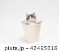 バケツに入ったノルウェージァンフォレストキァットの仔猫 42495616