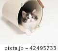 倒れたバケツに入ったノルウェージァンフォレストキァットの仔猫 42495733