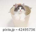 バケツに入ったノルウェージァンフォレストキァットの仔猫 42495736