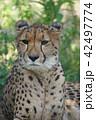 チーター ネコ科 猛獣の写真 42497774
