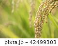 たんぼ 田んぼ 田圃の写真 42499303